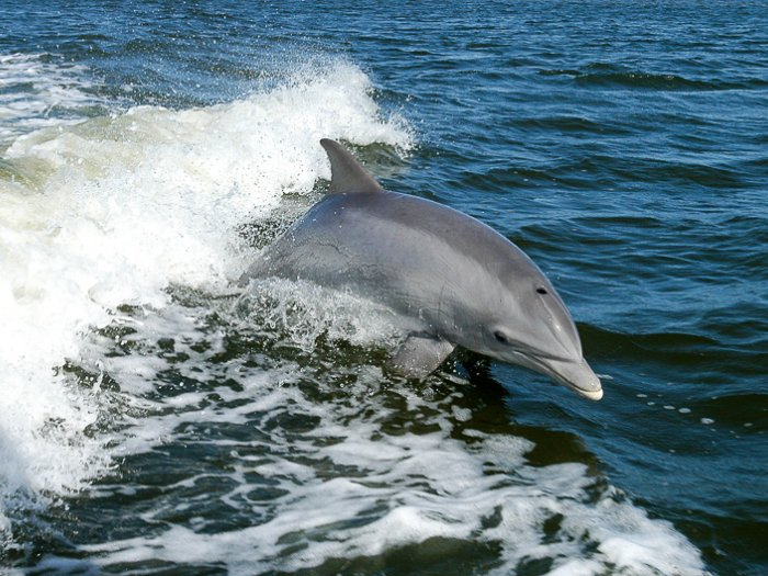 Dolphins accompanying your trip!